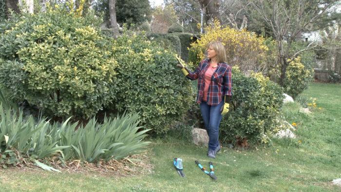 podar jardín _ podar evónimo