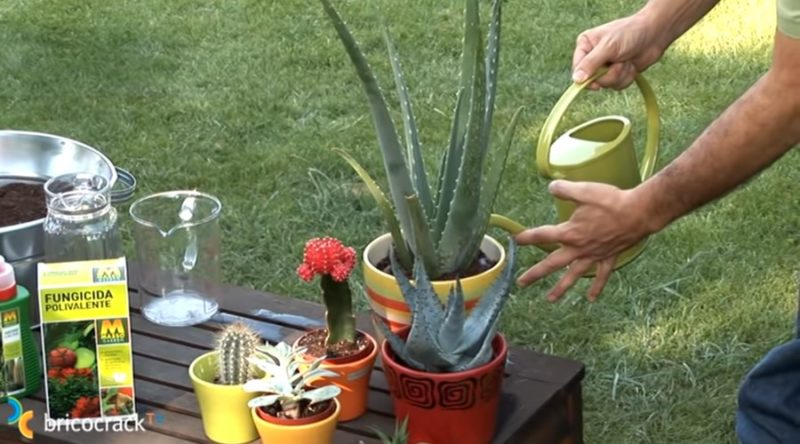 cactus y crasas  _ regar