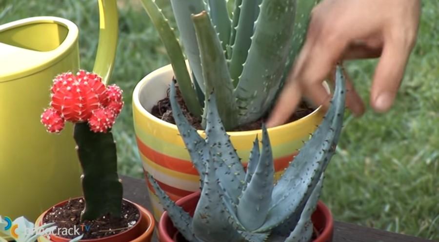 cactus y crasas  _ sustrato drenante